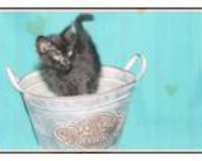 Adopt Boop a Spotted Tabby/Leopard Spotted Domestic Shorthair / Mixed cat in