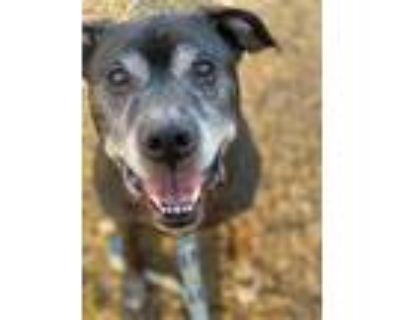 Adopt Nino a Pit Bull Terrier, Labrador Retriever