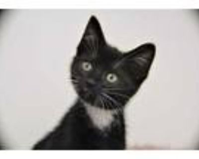 Adopt Sol a All Black Domestic Shorthair / Domestic Shorthair / Mixed cat in