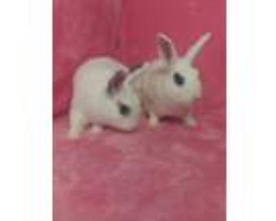 Adopt Arlette & Everton a White Blanc de Hotot / Mixed (short coat) rabbit in