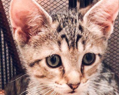 Smudge - Domestic Shorthair - Kitten Female