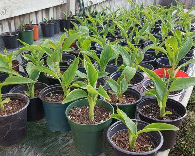 Canna Lily Plants