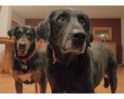 Adopt Cora and Vera a Brown/Chocolate Labrador Retriever / Mixed dog in