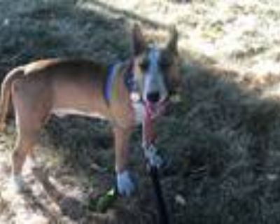Adopt Eliot a Tan/Yellow/Fawn - with White Bull Terrier / Mixed dog in