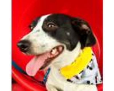 Adopt Lilly a Black - with White Beagle / Dachshund / Mixed dog in Bakersfield
