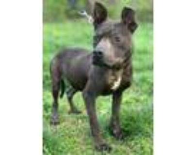 Adopt Hugo a Gray/Blue/Silver/Salt & Pepper American Pit Bull Terrier / Mixed