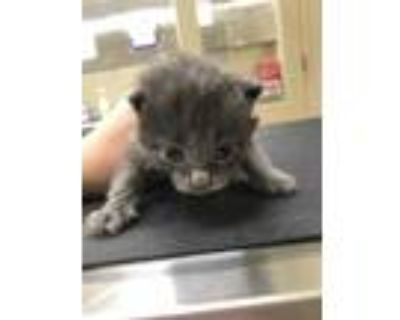 Adopt 47924870 a Gray or Blue Domestic Shorthair / Domestic Shorthair / Mixed