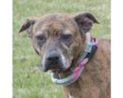 Adopt Audrey a Brindle Pit Bull Terrier / Mixed dog in Troy, OH (30743046)