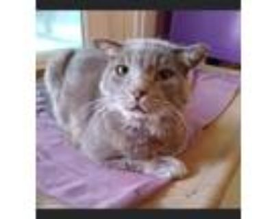 Adopt STANLEY a Domestic Short Hair