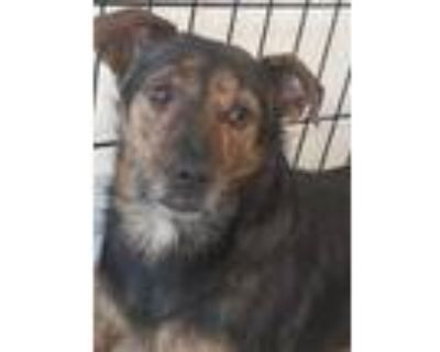 Adopt Booker a Brindle Jack Russell Terrier / Mixed dog in Chico, CA (29105742)