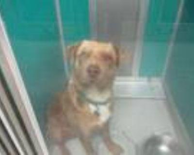 Adopt ASPIN a Labrador Retriever, Mixed Breed