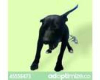 Adopt Nitro a Black Labrador Retriever / Mixed dog in El Paso, TX (31962683)