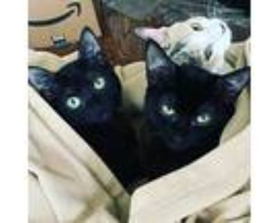 Izzy, Callie And Smoky, Domestic Shorthair For Adoption In Los Angeles