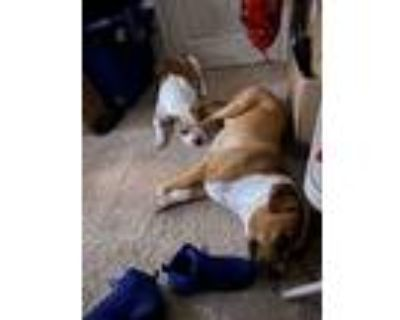 Adopt Diamond a Brown/Chocolate - with White American Pit Bull Terrier /