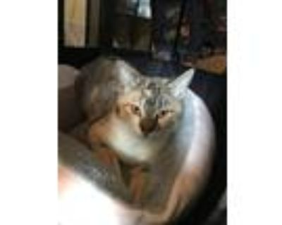 Adopt Biscuit a Calico / Mixed cat in Los Lunas, NM (31941596)
