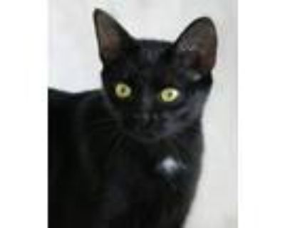 Adopt Shelly a Domestic Shorthair / Mixed (short coat) cat in North Fort Myers