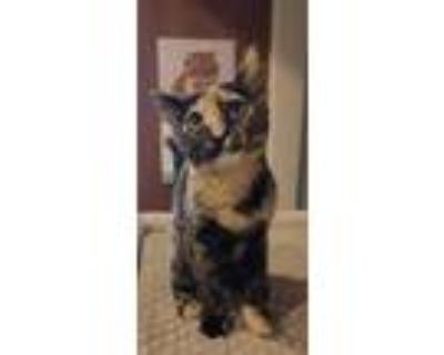 Adopt Chleo Marie a Domestic Short Hair