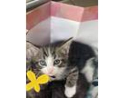 Adopt Mickey a Tiger Striped Domestic Shorthair / Mixed (short coat) cat in
