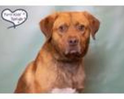 Adopt Hoyt a Brown/Chocolate - with White Retriever (Unknown Type) / Mixed dog
