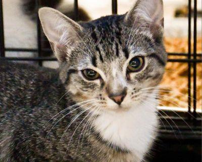 Andie - Domestic Shorthair - Kitten Female
