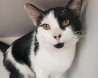 Male Domestic Short Hair named Manny available for adoption