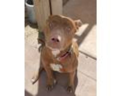 Adopt Sweet Pea - PS a Red/Golden/Orange/Chestnut - with White American Pit Bull