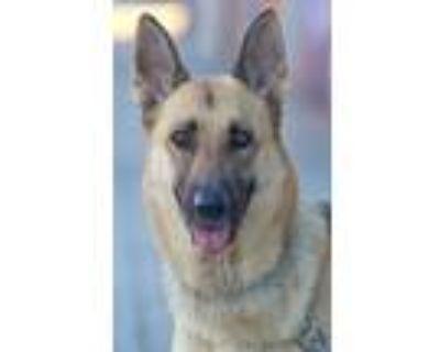 Adopt Lexy von Liebstadt a Tan/Yellow/Fawn - with Black German Shepherd Dog /