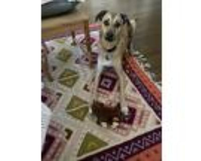 Adopt Ruth a Tan/Yellow/Fawn - with White Greyhound / Mixed dog in Palo Alto