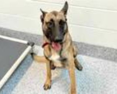 Adopt HOLDEN a Brown/Chocolate - with Black German Shepherd Dog / Mixed dog in