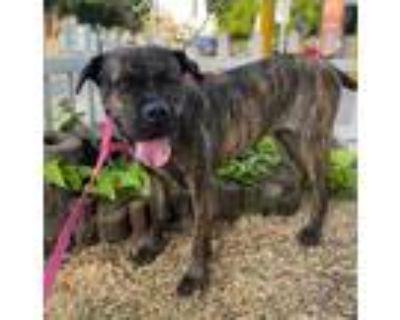 Adopt Tigresa a Brindle Boxer / Mixed dog in Gig Harbor, WA (32052510)