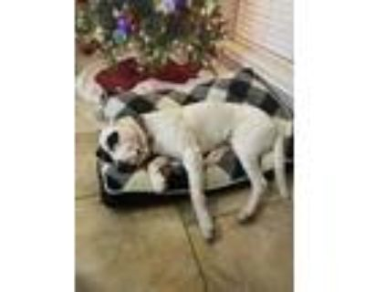 Adopt WallE a White - with Black American Pit Bull Terrier / Dalmatian / Mixed
