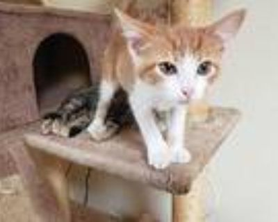 Chonk, Domestic Shorthair For Adoption In Yucca Valley, California