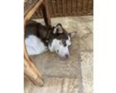 Adopt Ace a White - with Brown or Chocolate Husky / Mixed dog in BOULDER