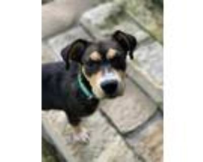 Adopt Fernley a Black Collie / Mixed dog in Fort Worth, TX (31609027)