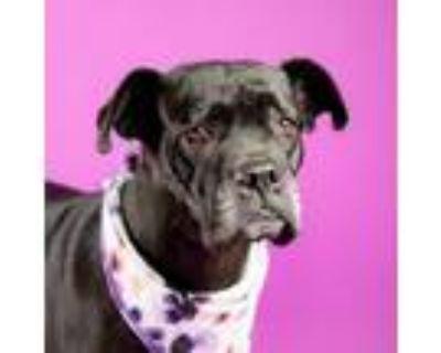 Adopt Tonks the Hufflepuff a Black Cane Corso / Boxer / Mixed dog in Houston