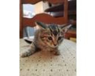 Adopt GREEN a Brown Tabby Domestic Shorthair / Mixed (short coat) cat in