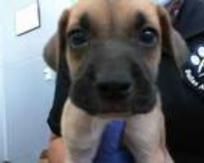 Adopt A1126479 a Tan/Yellow/Fawn - with Black Labrador Retriever / Mixed dog in