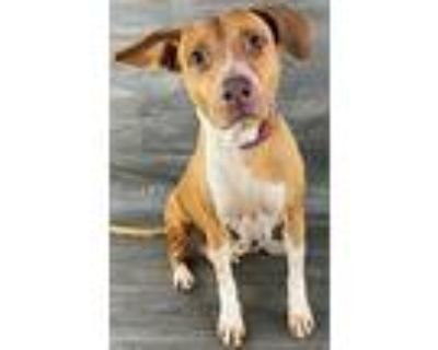 Champagne, American Pit Bull Terrier For Adoption In Benbrook, Texas
