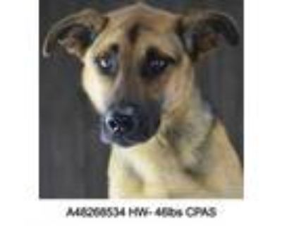 Adopt Skye a Brown/Chocolate Shepherd (Unknown Type) / Mixed dog in Shreveport