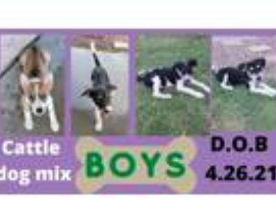 Adopt 4boys a Australian Cattle Dog / Blue Heeler, Husky