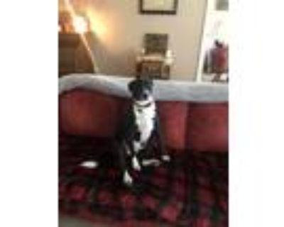Adopt Charlie a Black - with White Border Collie / Labrador Retriever / Mixed