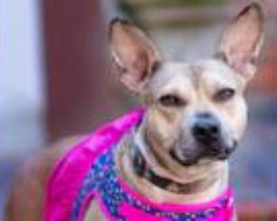 Adopt Jupiter a Brown/Chocolate - with Black Carolina Dog / German Shepherd Dog