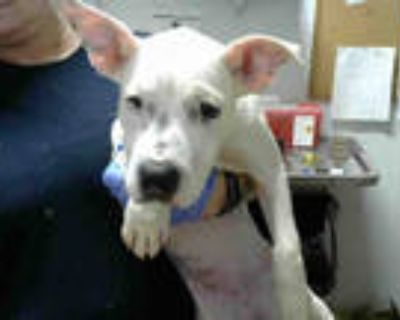 Adopt HALO a White - with Black American Pit Bull Terrier / Mixed dog in