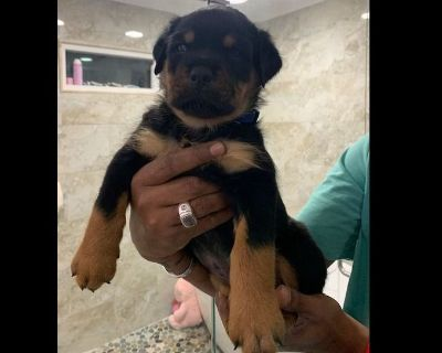 German Rottweiler Puppies -  1 Female available