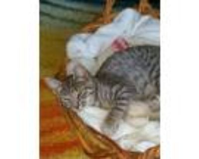 Adopt Max a Gray, Blue or Silver Tabby Domestic Shorthair (short coat) cat in