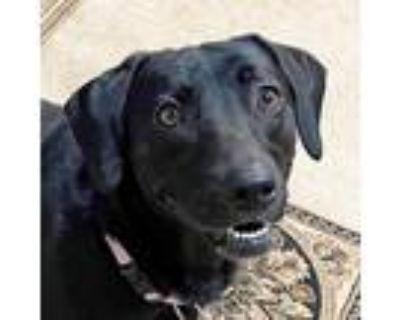 Adopt Gretchen a Black Hound (Unknown Type) / Mixed dog in Atlanta