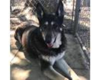 Adopt Precious a Black - with White Shepherd (Unknown Type) / Mixed dog in