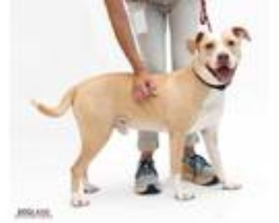 Adopt Talo a Tan/Yellow/Fawn American Pit Bull Terrier / Mixed dog in