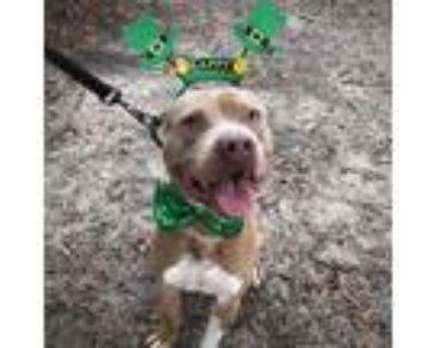 Adopt Finn a American Staffordshire Terrier, American Bully