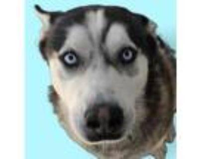 Adopt Dallas a Black Husky / Mixed dog in Colorado Springs, CO (31967193)